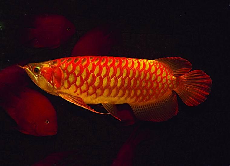 ปลาอโรวาน่าแดง หรือปลามังกรแดง
