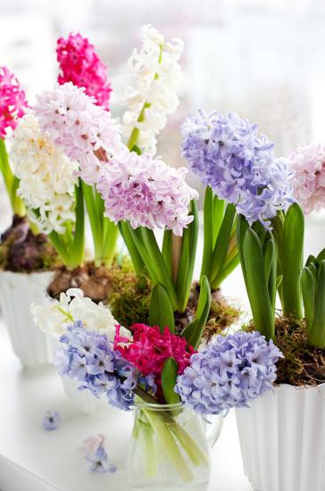ดอกไฮยาซินท์ (Hyacinth)
