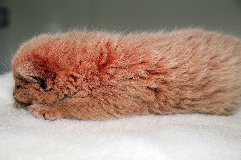 แมวน้อยสีชมพู … พิงค์แพนเตอร์ ตัวจริง