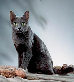 แมวโคราช หรือแมวสีสวาด