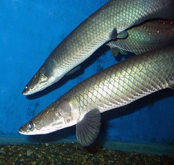 ปลาช่อนอเมซอน