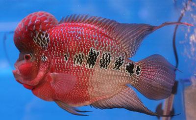 ปลาหมอสี Flower Horn