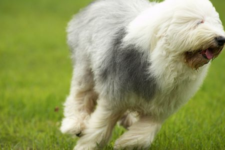 ��Ŵ� �ԧ�Ԫ �վ��͡ Old English Sheepdog