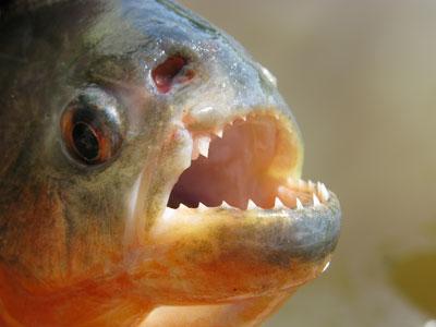 ปลาปิรันย่า