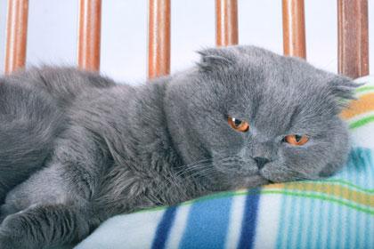 แมวพันธุ์ Scottish Fold