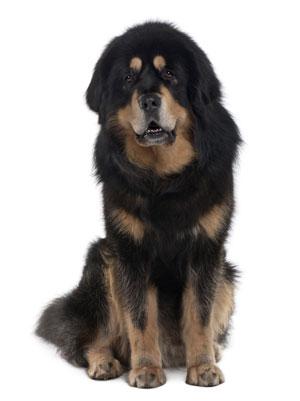 ��ີѹ ��ʷԿ�� (Tibetan Mastiff)
