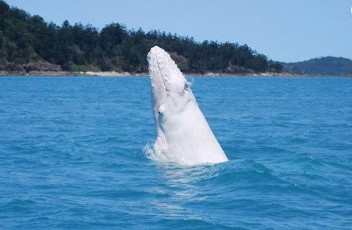 วาฬหลังค่อมสีขาว