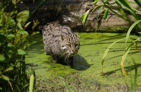 10 สายพันธุ์แมวหายาก
