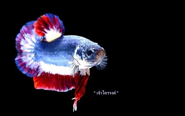เจ้าไตรรงค์ ปลากัดลายธงชาติไทย