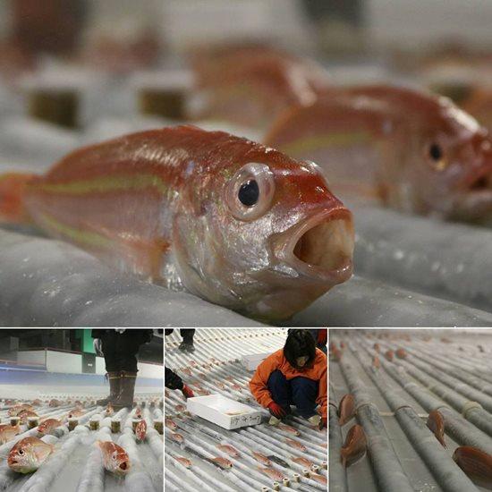 จวกสวนสนุกญี่ปุ่น นำปลา 5,000 ตัว ฝังไว้ใต้ลานสเก็ตน้ำแข็ง