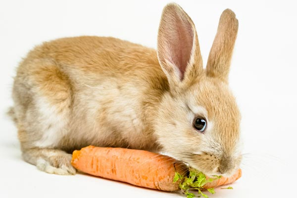 วิธีเลี้ยงกระต่าย