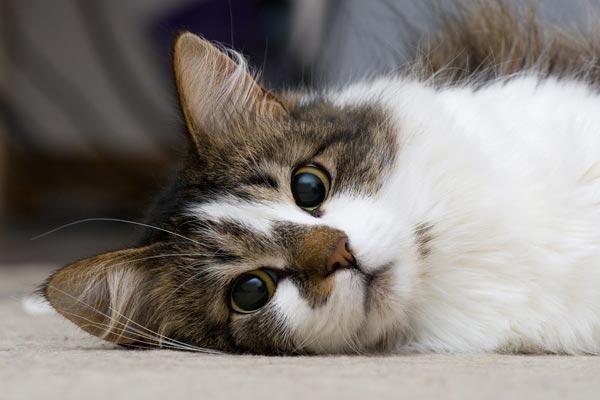 สมุนไพรรักษาโรคไตในแมว