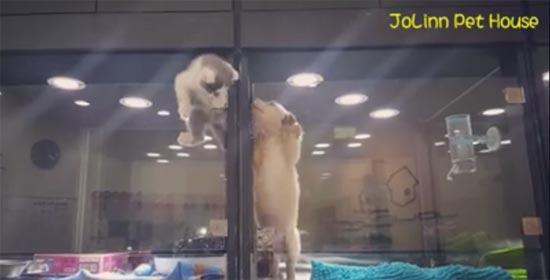 น่ารัก เหมียวน้อยปีนตู้กระจกไปเล่นกับตูบน้อยตู้ข้าง ๆ ก็มันเหงานี่นา