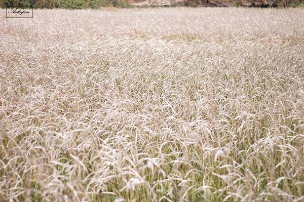 ทุ่งหญ้าหิมะ อุบลราชธานี