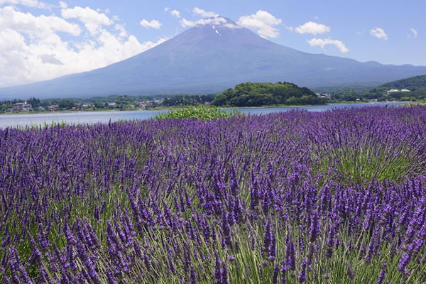 ทุ่งลาเวนเดอร์ริมทะเลสาบคาวากุจิ