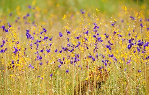 ทุ่งดอกไม้ป่า อุทยานแห่งชาติผาแต้ม จังหวัดอุบลราชธานี