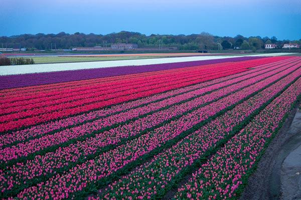 เทศกาลดอกทิวลิป