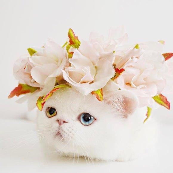 แมวตาสองสี