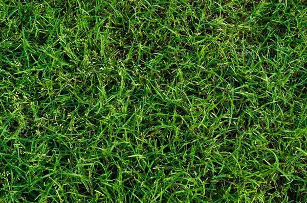 หญ้าแพรก สรรพคุณ ประโยชน์ของหญ้าแพรก
