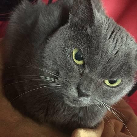 ชาโม แมวเทาแก่ผู้น่าสงสาร