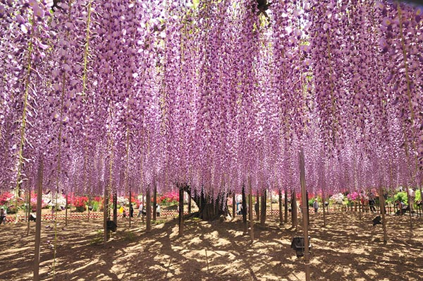 The Great Wisteria Festival 2017