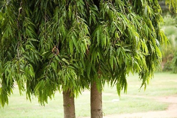รั้วต้นไม้