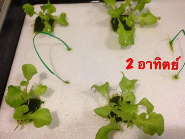 วิธีปลูกผักบนระเบียงคอนโด