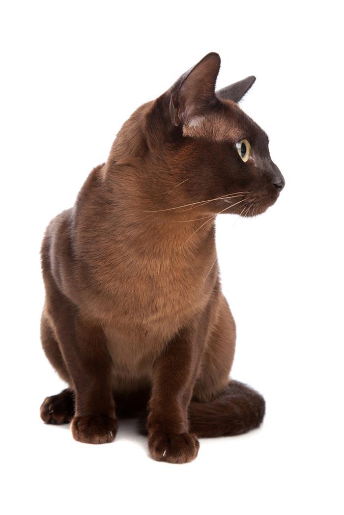 แมวมงคลของไทย