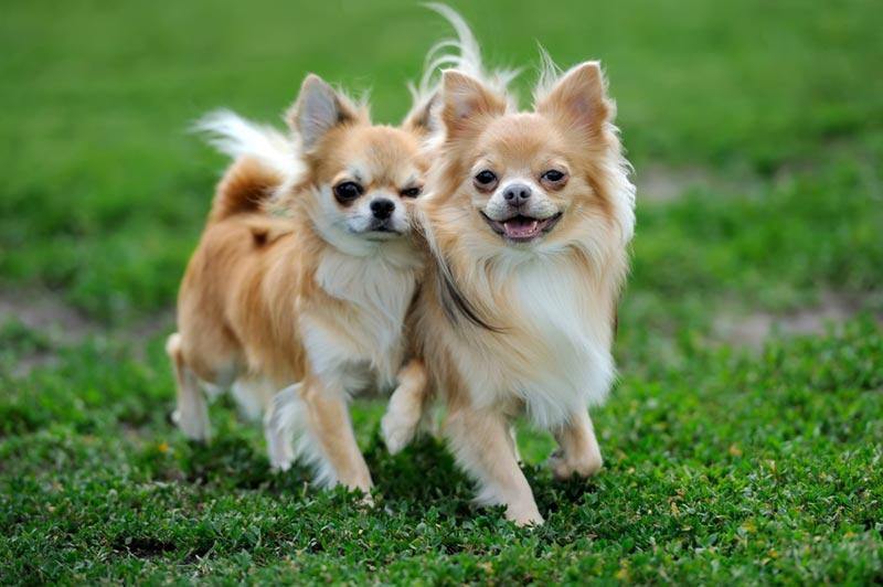 หมาพันธุ์เล็ก