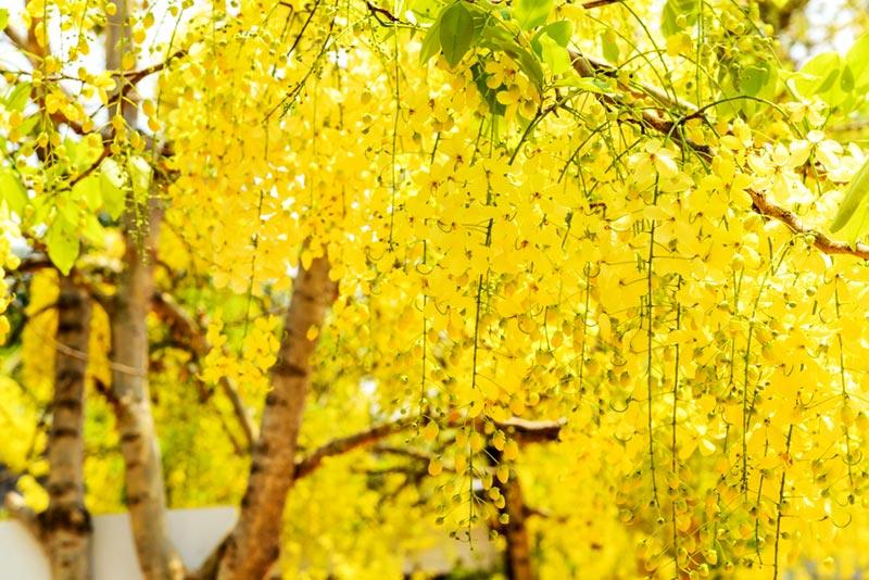 ต้นไม้ยืนต้นปลูกง่ายสวยงาม