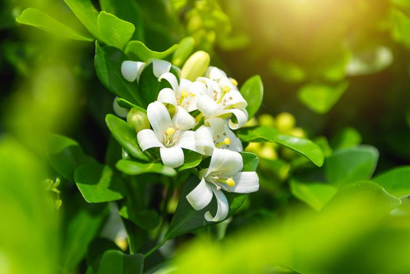 ดอกไม้มีกลิ่นหอมกลางคืน