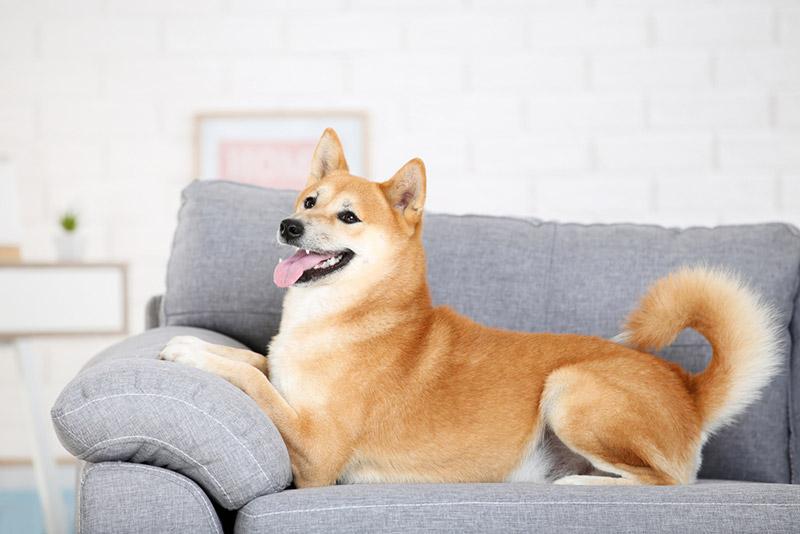 สุนัขพันธุ์ ชิบะ อินุ