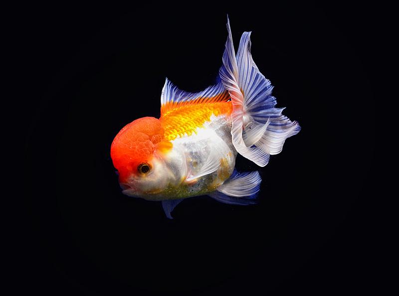 สายพันธุ์ปลาทอง