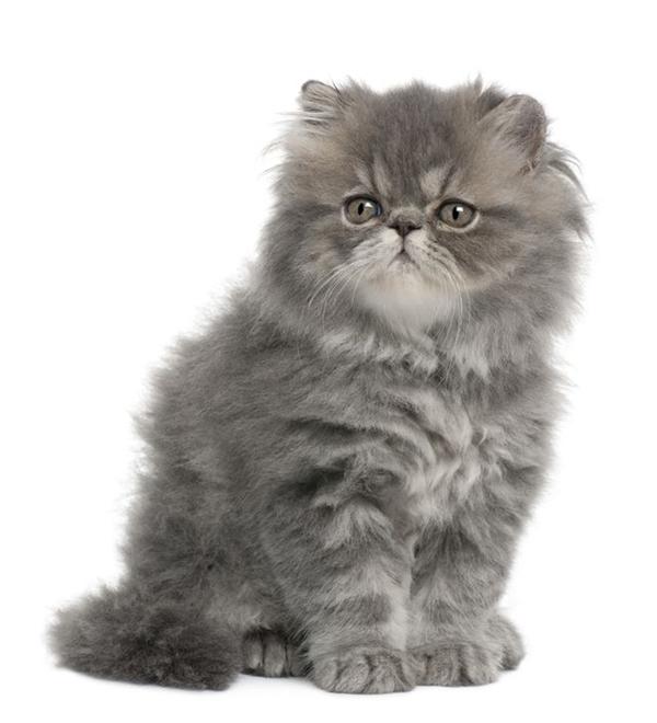 แมวเปอร์เซีย persian cats ประวัติแมวเปอร์เซีย