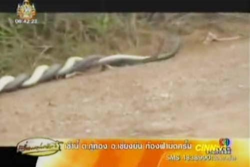 งูจงอางผสมพันธุ์