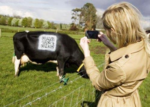 ติด QR code บนตัววัว เช็คข้อมูลได้ละเอียดยิบ