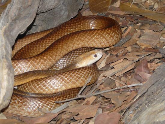 งูไทปัน (Taipan)