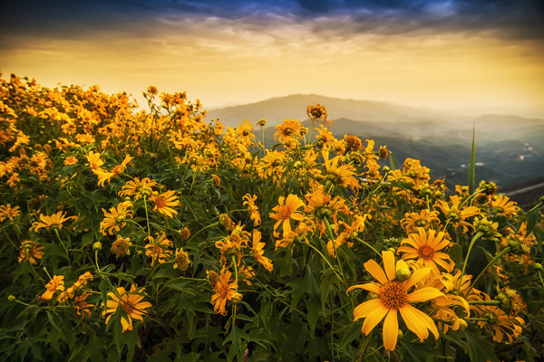 Mexican-Sunflower-Weed