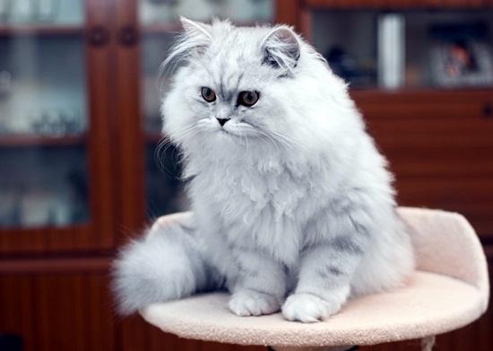 10 สายพันธุ์แมวยอดนิยมในไทย