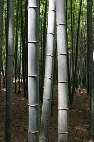 ต้นไผ่ ปลูกเสริมมงคล ประโยชน์สารพัน