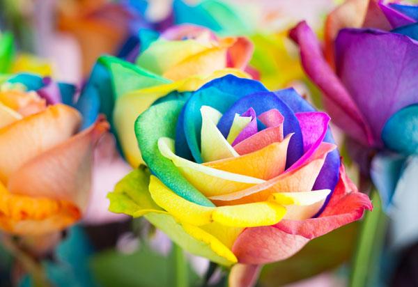 DIY เปลี่ยนสีดอกกุหลาบ ต้อนรับวาเลนไทน์