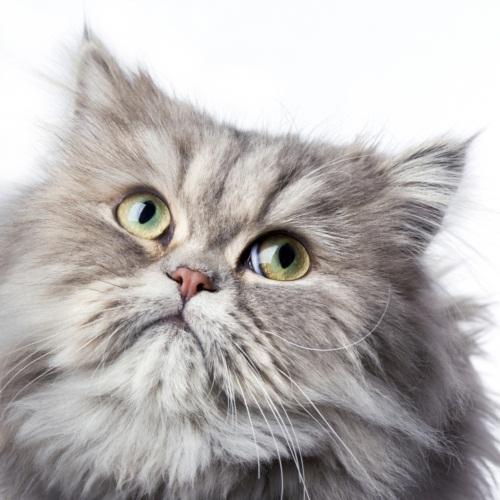 15 วิธีดูแลแมวเปอร์เซียที่คุณรัก