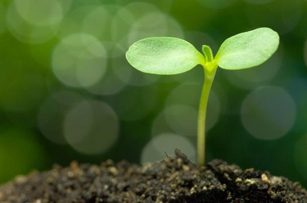 ต้นอ่อนทานตะวัน ประโยชน์อนันต์ที่ไม่ควรพลาดจากพืชตัวน้อย