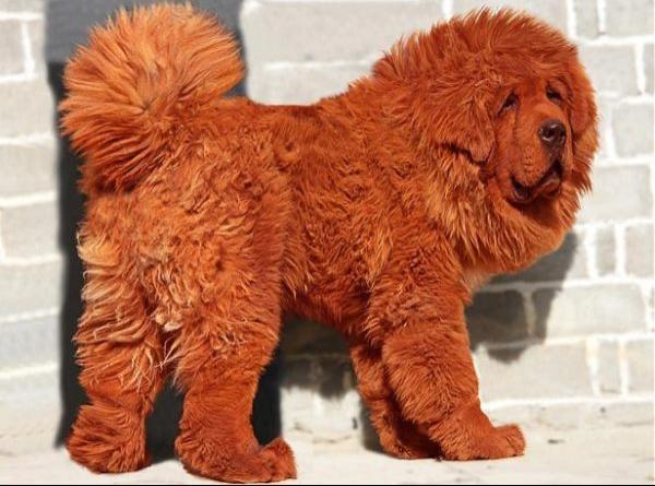 สุนัขทิเบตสีแดง แพงที่สุดในโลกด้วยค่าตัว 50 ล้านบาท